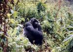 Gorilí samec se stříbrem na zádech - vůdce