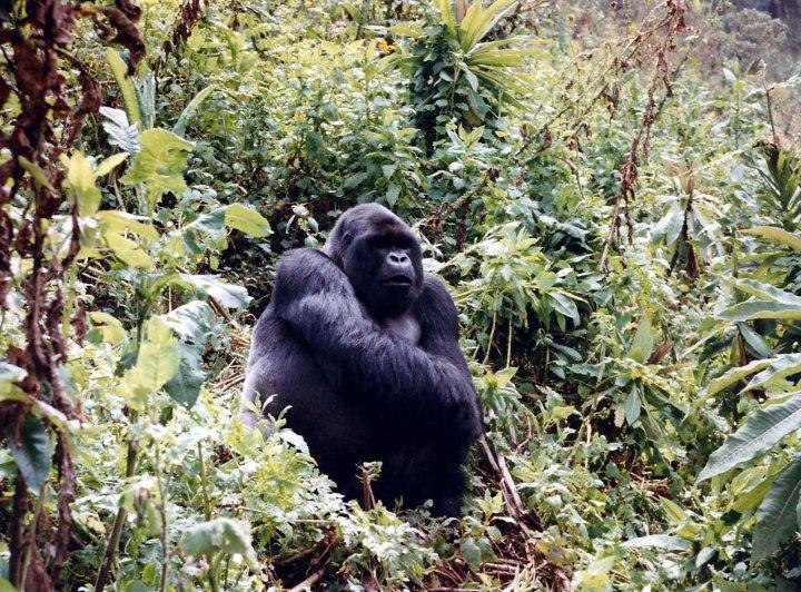Za horskými gorilami